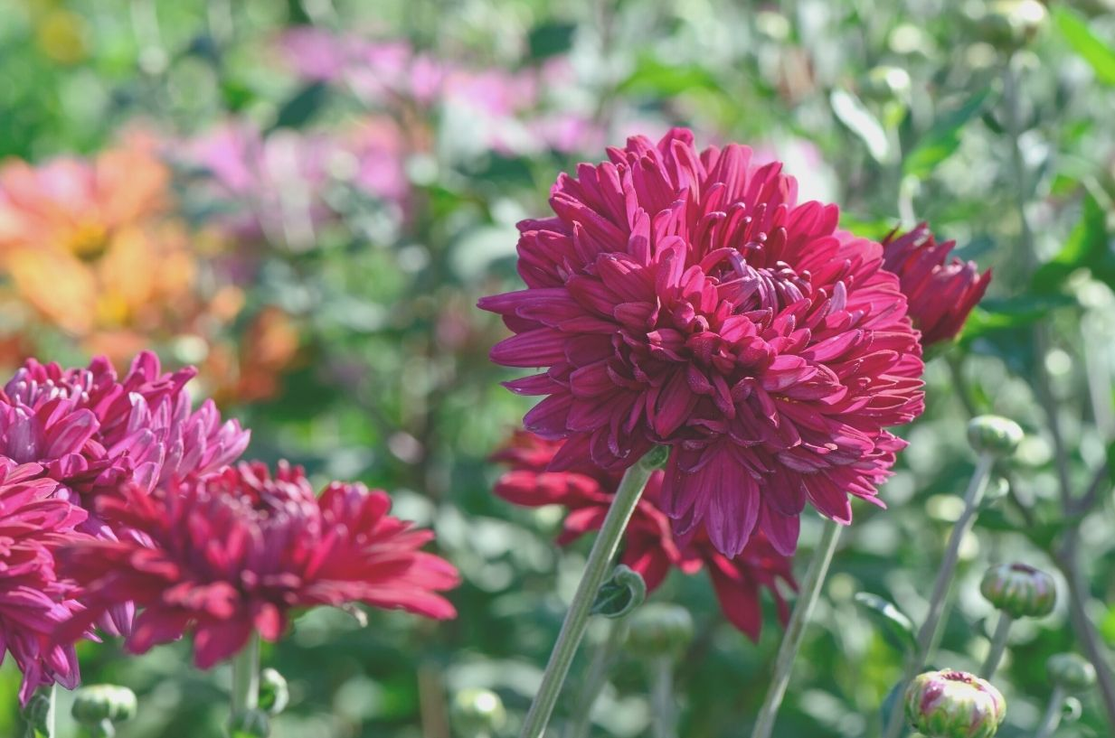 Autumn flower planting guide by CGS