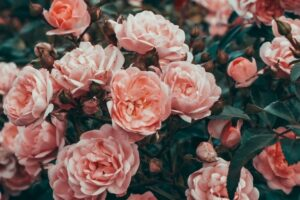 Roses are beautiful flowers that flourish in the cooler months